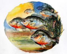 Also known as river bream and redbellies, these are the flowing water cousins of bluegill. Redbreast sunfish often can be found in backwater areas with less flow, especially where there are sandy bottoms.  This print is from an original watercolor by Barry Singer. It will fit a standard 8 X 10 or 11X14 frame With a matte as shown. Frame not included. Using acid free heavy natural stock and brilliant high quality inks, it will last a lifetime. Scanned at high resolution the print looks…