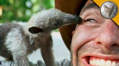 A Charmingly Curious Baby Tamandua Introduces Himself to Coyote Peterson and His…