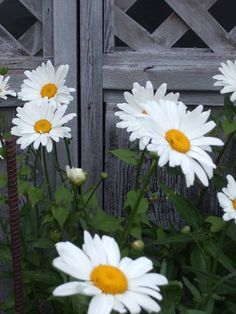 Shasta daisy...great increaser, long lasting, great cut flower.  A must for every perennial garden.