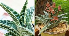 How to Grow and Care for a Tiger Aloe (Aloe variegata): Tiger Aloe has the same requirements as other Aloes... #aloe #succulentopedia #succulents #CactiAndSucculents #WorldOfSucculents #SucculentLove #succulent #SucculentPlant #SucculentPlants #succulentmania #SucculentLover #SucculentObsession #SucculentCollection #plant #plants #SucculentGarden #garden #desertplants #nature #SucculentCare #GrowingSucculents #gardening #GardeningTips