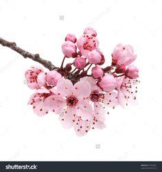 Cherry Blossom Sakura Flowers Isolated On Stock Photo 97342853 ...