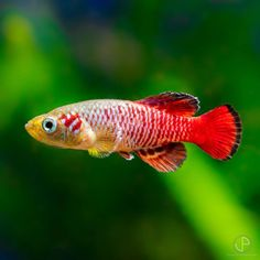 "Stefan Langenbach on Instagram: ""This is a Nothobranchius guentheri, also known as Gunther's Killifish or Redtail Notho. It is a beautiful Killifish from Africa that grows…"""