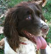 Tucker is an adoptable English Springer Spaniel Dog in Redford, MI. Whose elderly human mom passed away, her relatives contacted ESRA to help find Tucker a Forever...