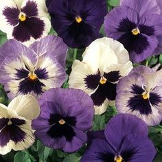 Pansy Majestic Giant II Purple-Clear    250 seeds  Need More Ask