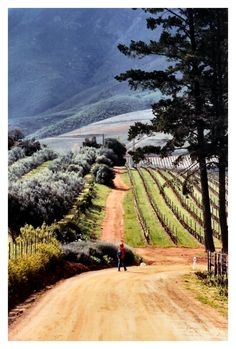 landscapelifescape:    Western Cape, Stellenbosch, South Africa  The road to memory bliss,  by bgladman