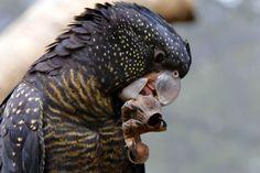 Black Parrot Healesville Sanctuary