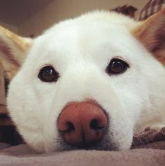 But don't forget the Shiba's quiet, contemplative side. | 27 Reasons Shibas Are The Best Dogs Ever