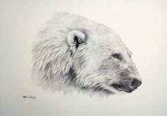 Pencil Drawings of Polar Bears | Details about POLAR BEAR Sarah Stribbling Original Pencil Drawing