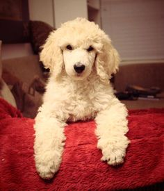 Standard Poodle baby