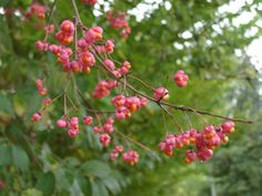 Spindle Trees | european spindle tree euonymus europaeus european spindle tree ...