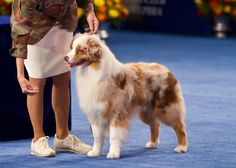 the Australian Shepherd should have won the national dog show this year. it was by far my favorite! so pretty :) And He won Eukanuba last year! Australian Shepherds, Mini Australian Shepard, Mini Aussie, Funny Animal Pictures, Funny Animals, Cute Animals, National Dog Show, American Shepherd, Loyal Dogs