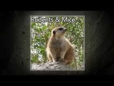 Visit Us: http://trophyclubpestcontrol.com/ Mice & Rodent Treatments in Trophy Club TX 817-381-2468 Ameritech Animal Control of Trophy Club, TX Serving Tarrant County Texas Since 1982 Solving your pest & rodent control problems.