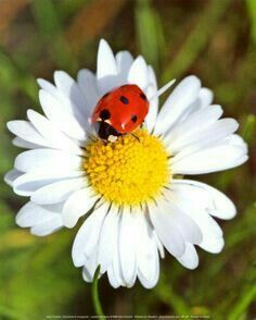 Ladybug and Daisy by Yann Crochet Art Print 24 x 30 cm or Beauty on Beauty Happy Flowers, Flowers Nature, My Flower, Wild Flowers, Beautiful Flowers, Fleur Orange, Sunflowers And Daisies, Daisy Love, Daisy Art