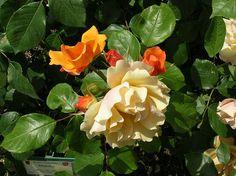 File:Rosa Tequila-Meilland 2003 Francia.JPG