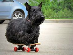 lol- Scottie on a Skateboard... we all know our Scotties are MULTI-talented!  <3 <3 <3