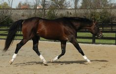 Selle Francais. The next breed of horse I will buy. love them