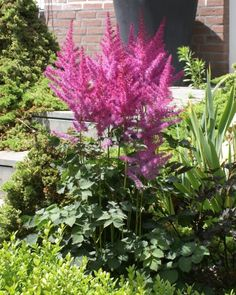 Astilbe 'To Have and To Hold'