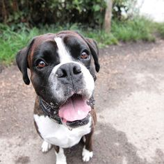 A happy boxer in Hampstead Heath.