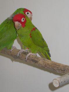 Conure - Cherry-headed