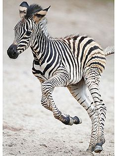 even baby zebras can jump for joy!