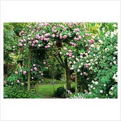 GAP Photos - Garden & Plant Picture Library - Pergola with pink climbing roses - GAP Photos - Specialising in horticultural photography