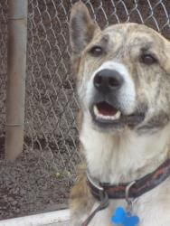 Dexter is an adoptable Collie Dog in Meriden, CT. This handsome man is75 pounds of pure love! .. He gets along with other dogs and is a wonderful guy! . If you enjoy walking and hiking than Dexter is...