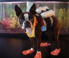 I NEED this costume for my dog! #bostonterrier
