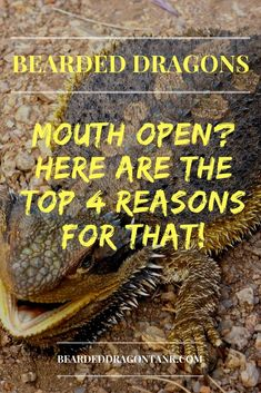 Here is why your bearded dragon is laying in his cage with an open mouth :) - My list of the most beautiful animals Bearded Dragon Food, Bearded Dragon Terrarium, Bearded Dragon Habitat, Pet Lizards, Reptiles, Amphibians, Bearded Dragon Substrate, Bearded Dragon Lighting, Bearded Dragon Enclosure