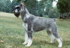Someday i will own a beauty like this ~Salt & Pepper Giant Schnauzer