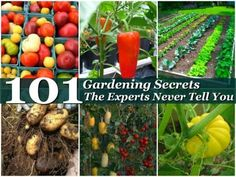 Here you will find 101 Gardening Secrets that the experts never tell you. If you want to know exactly how to grow a vegetable garden here is all the information you will ever need.