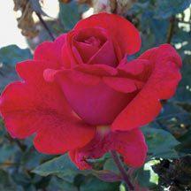 Cinnamon Dolce Hybrid Tea Rose | Hybrid Tea Roses | Edmunds' Roses