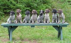 German Short Haired Pointer Puppies --- I will take the entire litter!!!!my favorite wittle puppies