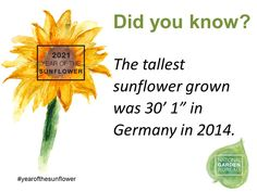 """Did you know the tallest sunflower grown was 30'1"""" in Germany in 2014 - Year of the Sunflower - National Garden Bureau Easy To Grow Flowers, Tiny Flowers, Large Flowers, Cut Flowers, Beautiful Gardens, Beautiful Flowers, Growing Sunflowers, Giant Sunflower, Succession Planting"""