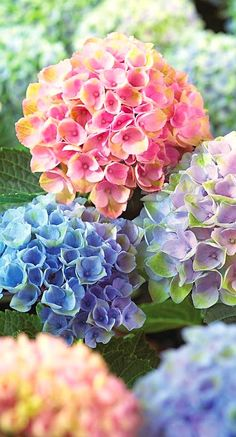 WEDDING FLOWERS 3 new hydrangea cultivars perfect for the Midwest! (Photo of Everlasting Revolution big leaf hydrangea courtesy of W. Atlee Burpee and Co. Hydrangea Seeds, Hortensia Hydrangea, Hydrangea Care, Hydrangea Macrophylla, Flower Seeds, Hydrangea Colors, Hydrangea Flower, Growing Hydrangea, Perennials