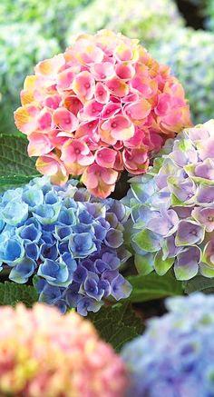 colorful hydrangea...