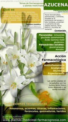 Azucena beneficios. Infografía. Resumen de las características generales de la Azucena. Usos medicinales más comunes, propiedades y beneficios de la Azucena. Planta y flor.