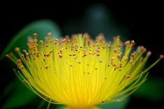 Photo about Focus on amazing stamens of St. John`s wort flower flower. The golden color and length of these multiple stamens are wondering. Image of countless, spring, wondering - 151207273 Beautiful Flowers Images, Flower Images, Golden Color, Macro Photography, Dandelion, Amazing, Plants, Google Search, Spring