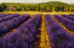 Provence_Lavender _Painting