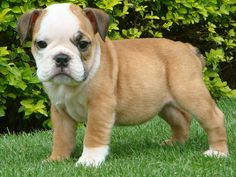 I want another bulldog puppy so bad :(