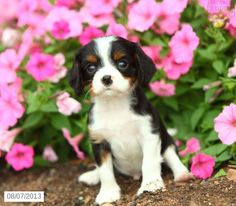 Scooter - Cavalier King Charles Spaniel Puppy for Sale in Terre Hill, PA - Cavalier King Charles Spaniel - Puppy for Sale
