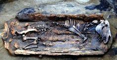 Ataúd de seis pies con un caballo a una profundidad de varios metros bajo tierra. El cuerpo de los animales momificados yacía en un ataúd de madera. - Siberia. (el caballo podía ser de los pueblos nómadas que creían que el animal era, ademas de medio de transporte, un símbolo que encarna la libertad)