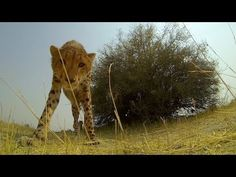 Cheetah takes a liking to the camera and the camera takes a licking! - GoPro: Cheetah Licks My GoPro