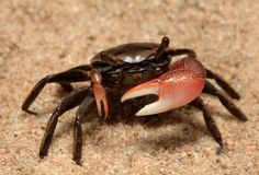 fiddler crab | Live Fiddler Crab Kit Under The Water, Under The Sea, Shrimp And Lobster, Crab Stuffed Shrimp, Carapace, Marine Biology, Marine Life, Google Search, Lobsters