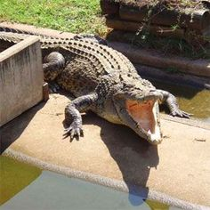 Crocodylus Park-there are saltwater and freshwater crocodiles of all ages and sizes, and American alligators Crocodiles, Alligators, Darwin Nt, Fresh Water, Attraction, Tourism, Wildlife, Australia, Activities