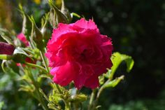 Visit the post for more. Beautiful Roses, Garden, Flowers, Plants, Pictures, Twitter, Life, Photos, Garten