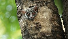 bush baby - Google Search