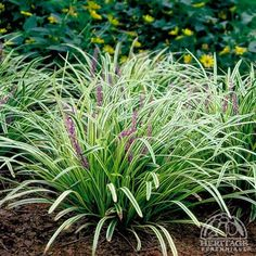 Liriope muscari 'Silvery Sunproof' for back garden on either side of path to Buddha garden. Small Backyard Gardens, Ground Cover Plants, Plants, Liriope Muscari, Muscari, Lily Turf, Small Backyard Garden Design, Ornamental Grasses, Backyard Garden Layout