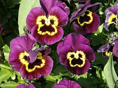 monkey face orchid - Google Search