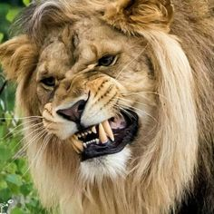 African Male Lion Giving a Warning Growl. Angry Animals, Big Animals, Animals And Pets, Beautiful Cats, Animals Beautiful, Lion Photography, Lion And Lioness, Cat Species, Carnivore