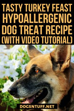 Thinking of what to do with the leftover turkey dinner? Why not turn it into homemade turkey dog treats so that your pooch will enjoy the Thanksgiving spirit too? #dogturkeyrecipes  #veggiedogrecipe #dogfood #dogrecipes Dog Treat Recipes, Dog Food Recipes, Hypoallergenic Dog Treats, Canned Dog Food, Dog Facts, Leftover Turkey, Dog Rules, Homemade Dog Treats, Dog Behavior
